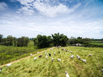 Cattle on the Brazilian farm Royalty Free Stock Images