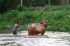 Cattle breeder bathes his animal. NAKHON SI THAMMARAT, THAILAND - AUGUST 22 : An unidentified man bathes his cattle in a local river on August 22, 2010 in Nakhon Royalty Free Stock Photo