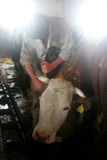 Cattle breeding. Italy Piedmont farming, cattle breeding royalty free stock photos