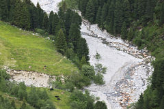 Cattle breeding along Zamser stream, Austria Royalty Free Stock Photo