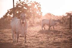 Cattle Breeding Outdoors. Breeding cattle outdoors with the sunset in the background Royalty Free Stock Photo