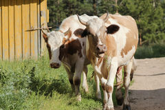 Cattle - brown caws in the village Royalty Free Stock Images