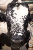 Cattle bull with large horns. Close Up Cattle bull with large horns Stock Image