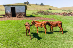 Cattle Calves Animals Royalty Free Stock Image