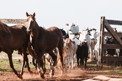 Cattle: Calves running to the corral after weaning. Cattle running to the corral after weaning. Mixed cattle with some black, brown and white calves passing stock photo