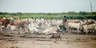 Cattle camp in south sudan Stock Image