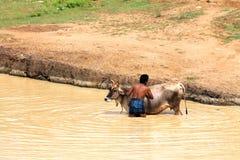 Cattle care - washing animal to beat heat Stock Photo