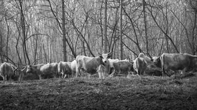 Cattle. S in a Hungarian farm royalty free stock image