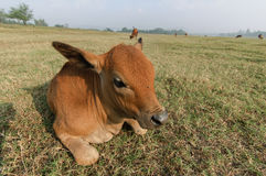 Cattle royalty free stock photography