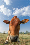 Cattle royalty free stock photo