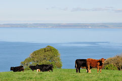 Cattle on Cliffs, Hartland Point, Devon, England Stock Images