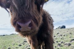 Cattle close up. Castletown, Isle of Man stock image