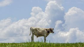 Cattle and cloud royalty free stock photos