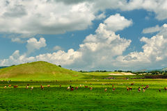 The cattle and clouds Stock Photography