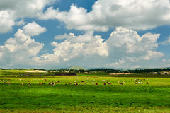 The cattle and clouds Stock Images