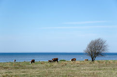 Cattle by the coast Stock Photography
