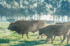 Cattle on a Cold Morning Royalty Free Stock Image