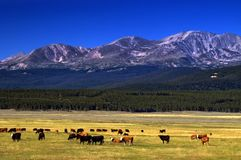Cattle On The Colorado Range Royalty Free Stock Photography