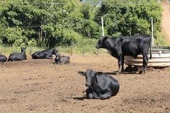 Cattle confined in the corral. Sao Paulo state, Brazil stock image