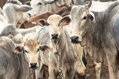 Cattle in confinement Stock Photo
