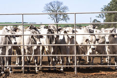 Cattle in confinement Royalty Free Stock Photo