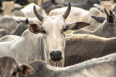 Cattle in confinement Royalty Free Stock Image