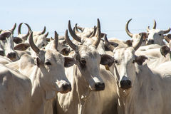 Cattle in confinement Royalty Free Stock Images