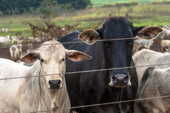Cattle in confinement Stock Photos