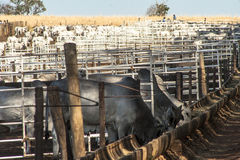 Cattle in confinement Royalty Free Stock Photos