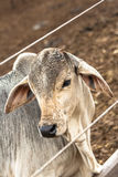 Cattle on confinement Royalty Free Stock Images