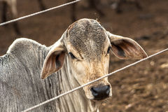 Cattle in confinement Stock Images