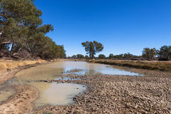Cattle in Cooper Creek in outback Australia. Stock Photo