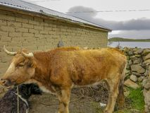 Cattle in copacabana, titicaca lake stock photography