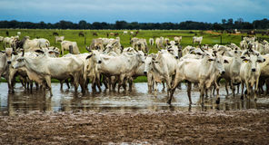 Cattle in the corral. Nelore cattle in a corral with water patches. And green pasture in the background Royalty Free Stock Images