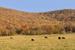 Cattle in the Country Autumn Landscape Stock Photos