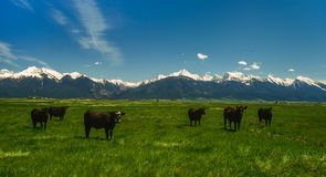 Cattle Country in the Mission Valley Royalty Free Stock Photos