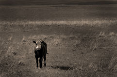 Cattle in the Countryside Royalty Free Stock Photography