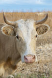 Cattle or Cow Stock Image