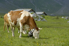 Cattle with Cow Bell in the Alps Stock Photos