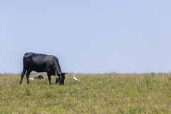 Cattle Cow Black Hillside Royalty Free Stock Image