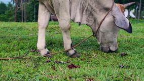 Cattle cow grazing in field. Dairy cattle grazing. Dairy cow eat grass. stock video footage