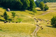 Cattle of cow grazing on a grassy pasture. Road winds uphill in to the forest Stock Image