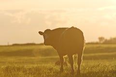 Cattle Cow sunrise. Saskatchewan Canada Royalty Free Stock Photos
