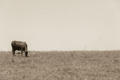 Cattle Cow Vintage Royalty Free Stock Photos