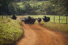 Cattle of cows with horns walking in a dirt road. Stock Photos