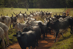 Cattle of cows with horns walking in a dirt road. Royalty Free Stock Photos