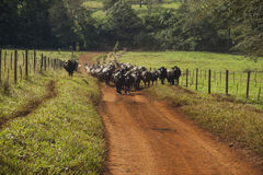 Cattle of cows with horns walking in a dirt road. Stock Images