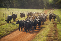 Cattle of cows with horns walking in a dirt road. Royalty Free Stock Photography
