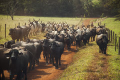Cattle of cows with horns walking in a dirt road. Stock Photo