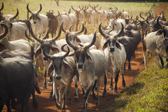 Cattle of cows with horns walking in a dirt road. Royalty Free Stock Photo